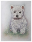 West Highland Terrier TAYGA